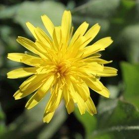 foto de una flor de diente de león